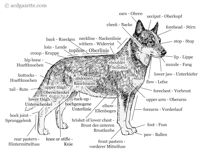 Anatomy Of The Australian Cattle Dog New Acd Gazette