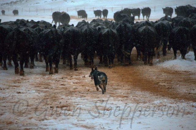 CeCe herding